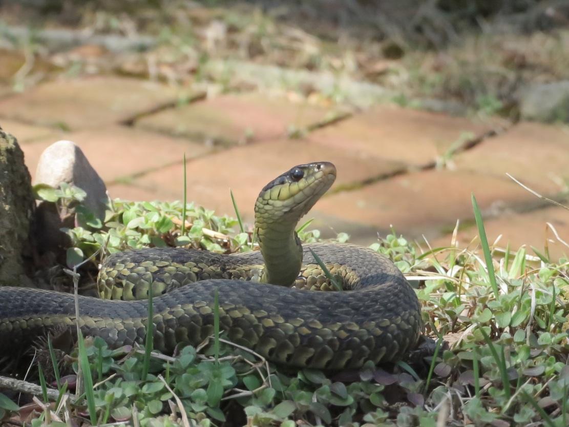 garden snake2