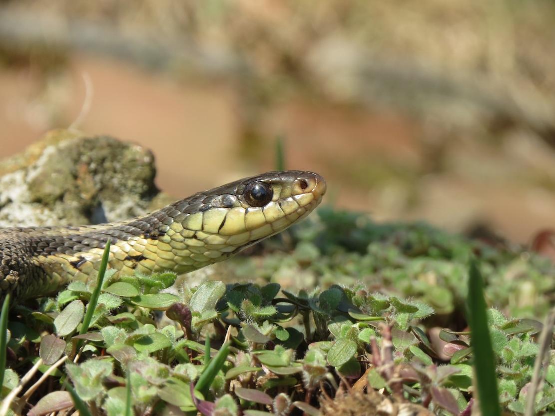 garden snake4