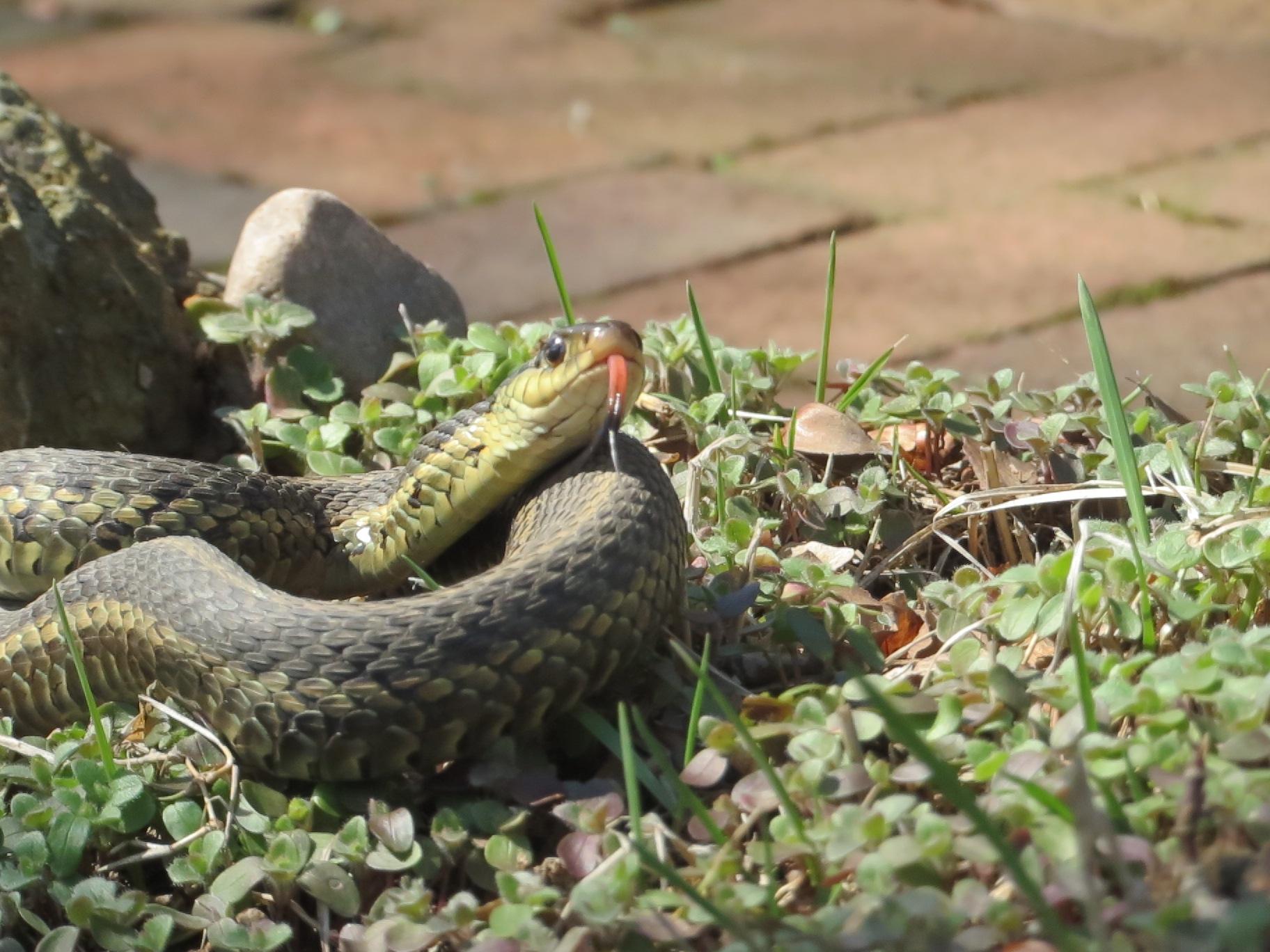 garden snake tongue