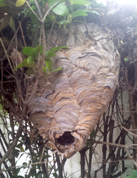 wasp hornet nest wespen copy
