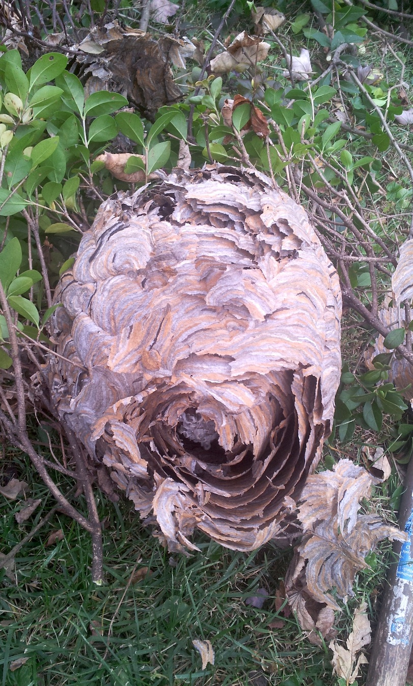 yellow jackets nest wespen copy