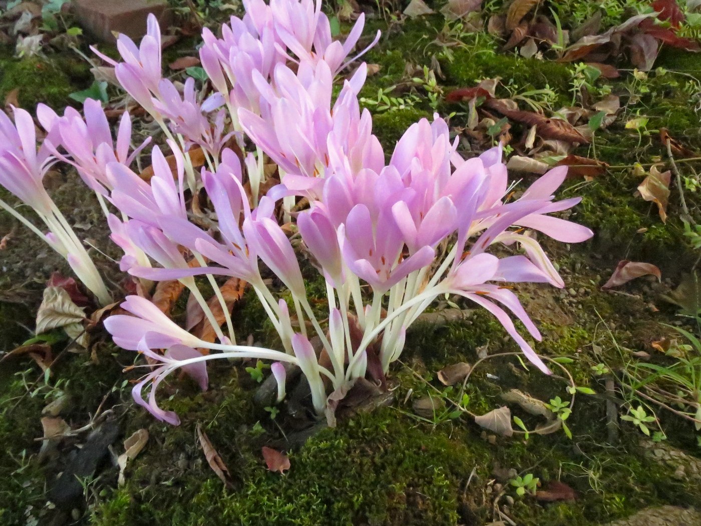 Colchicum Midland beach Sep2013