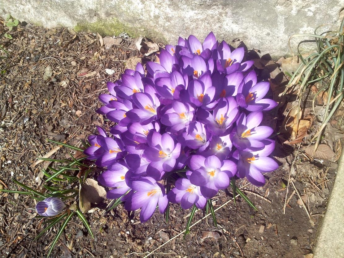Crocuss violet