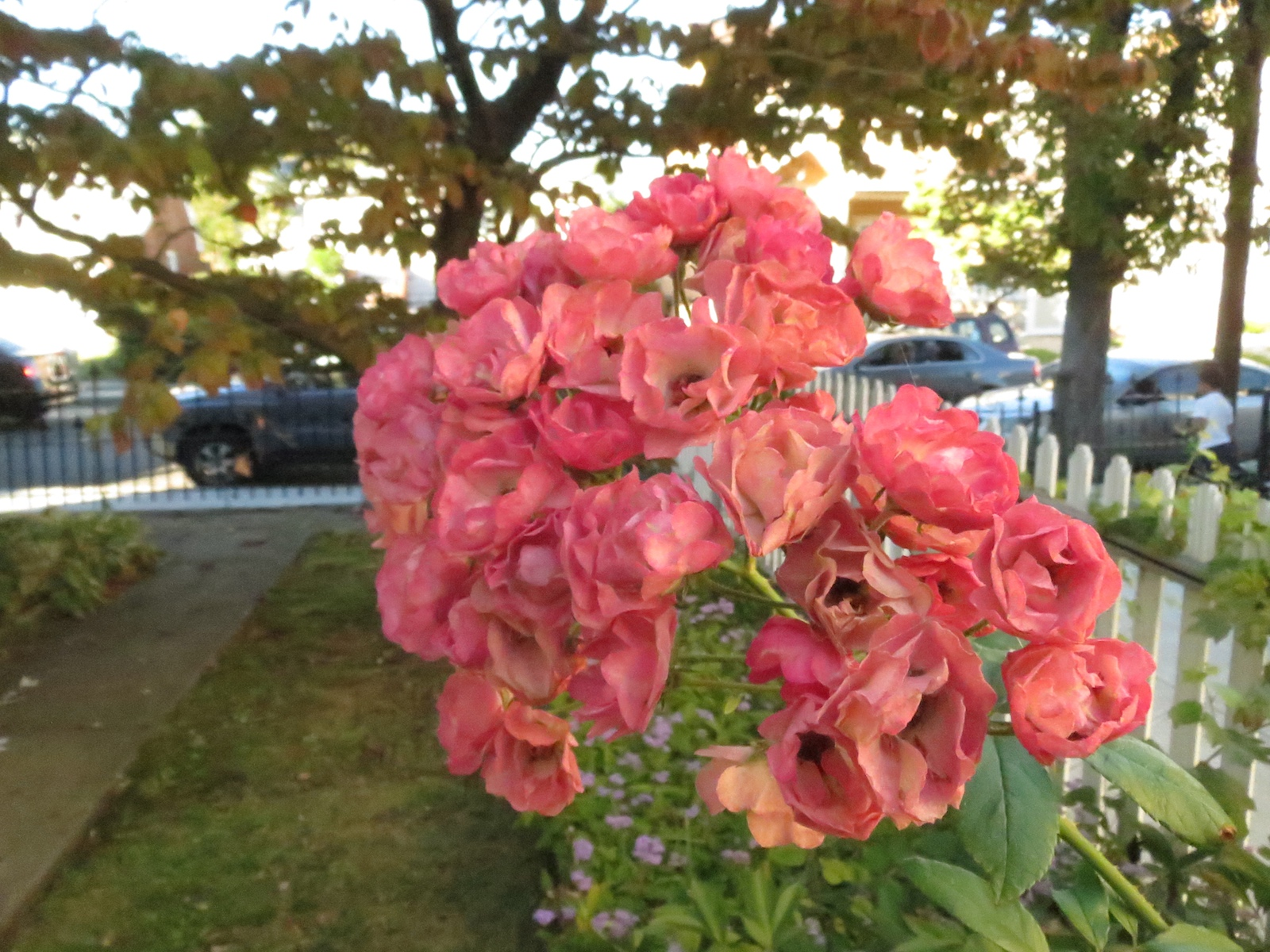 Roses Midland Beach Sep13