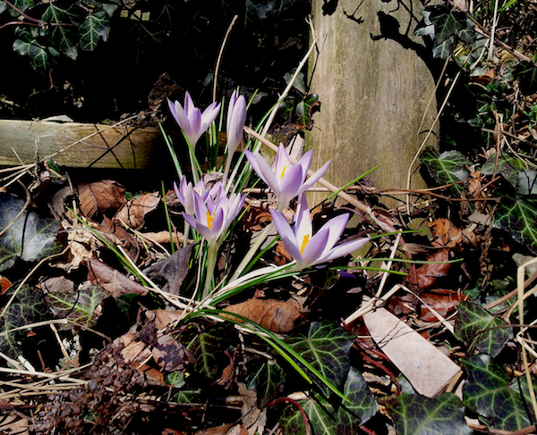 Staten Island spring crocuses