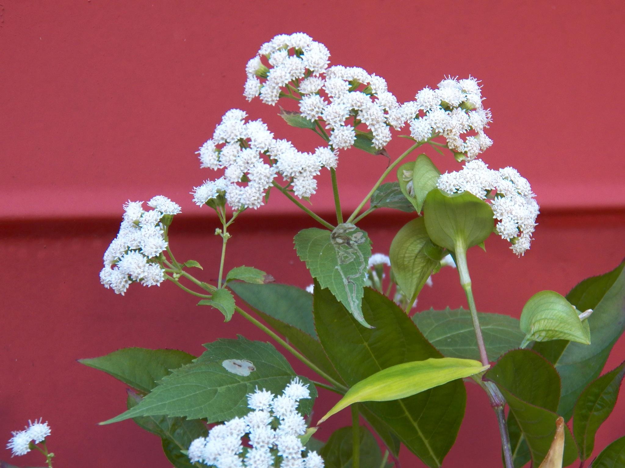 White Snakeroot Ageratina altissima
