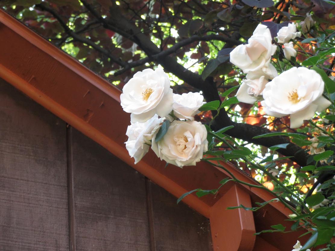 beige rose brown shed