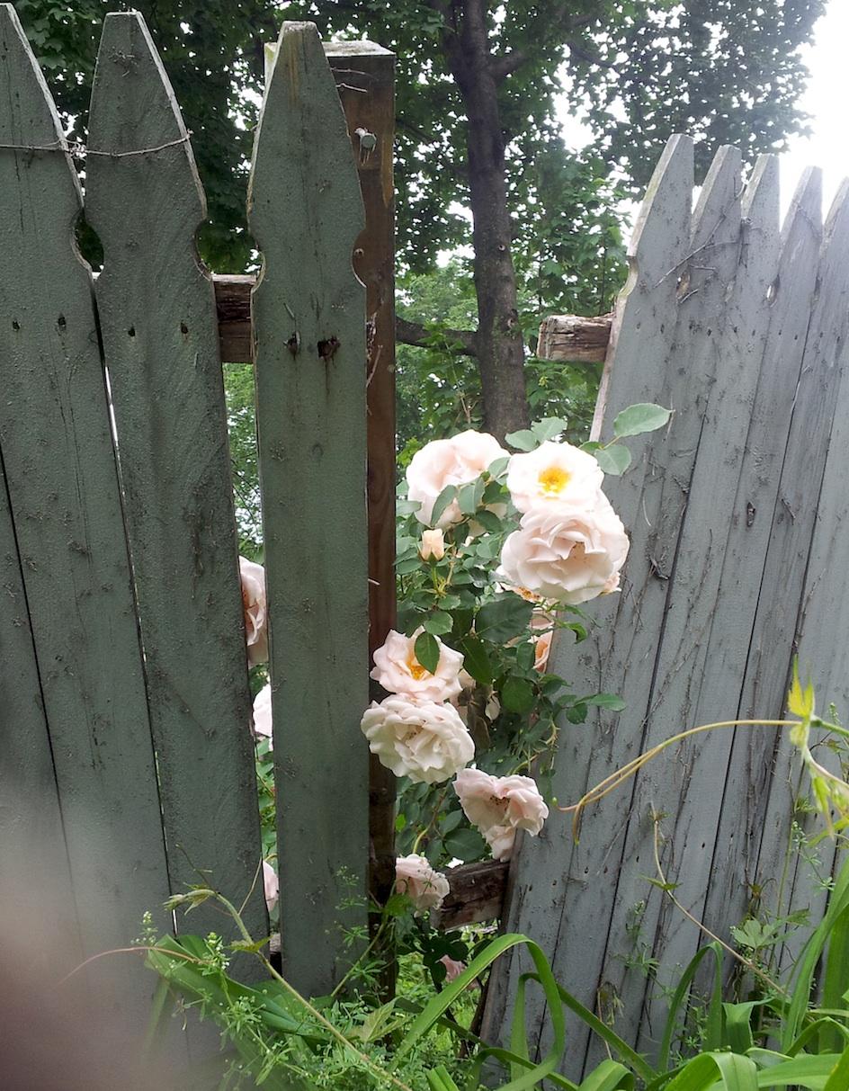 broken fence roses