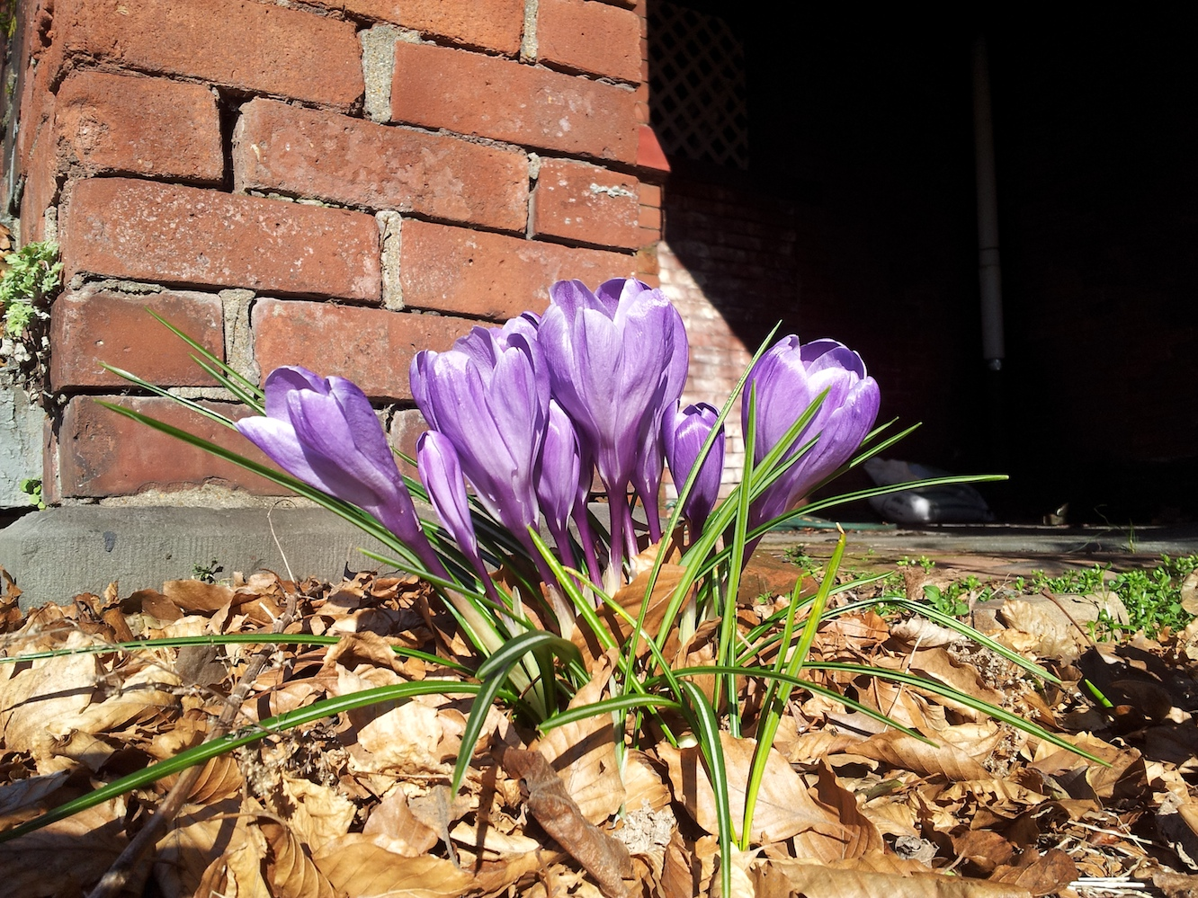 crocus spring red brick