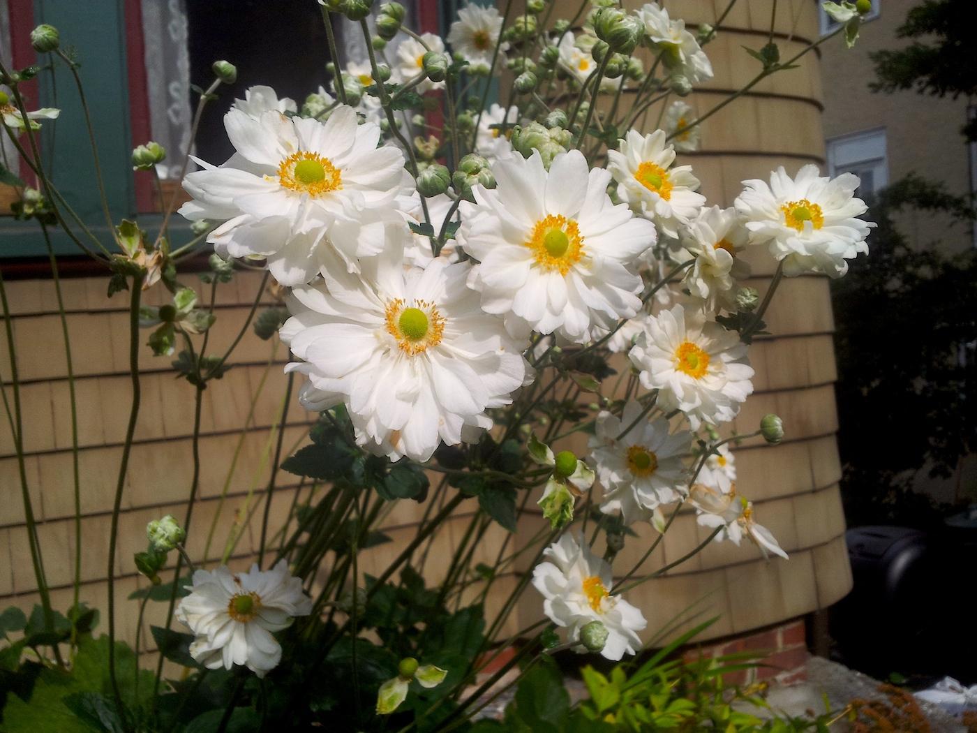 daisies St George