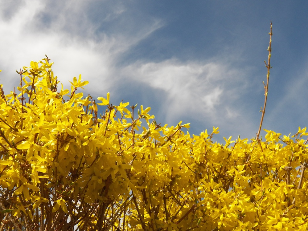 forsythia spring