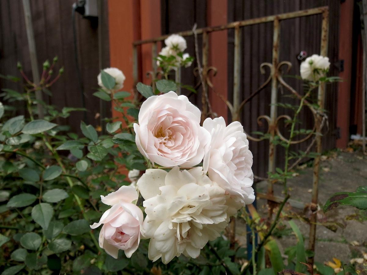 light pink old rose