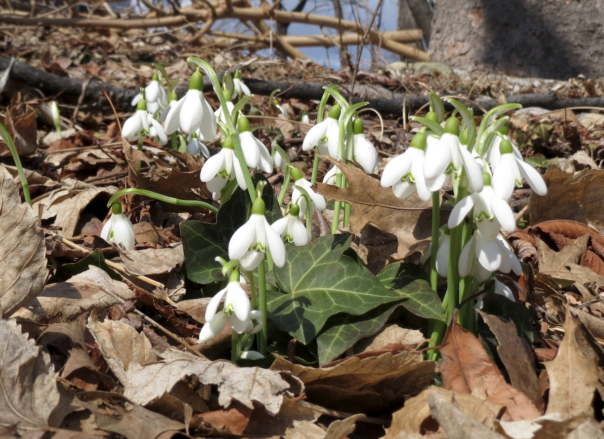 snow drops Galanthus nivalis