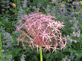 Allium th
