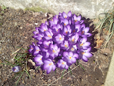 Crocuss purple th