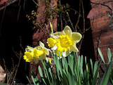 Duffodils Narcissus th