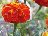 Marigold Tagetes erecta th