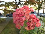 Roses Midland Beach Sep13 th