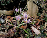 Staten Island spring crocuses th
