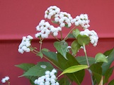 White Snakeroot Ageratina altissima th