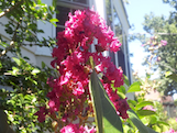 crape myrtle th