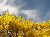 forsythia spring th