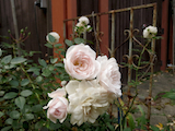 light pink old rose th