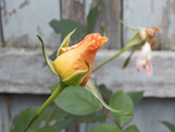 orange rose flower th