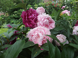 peonies St George th