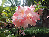 rhododendron flower th