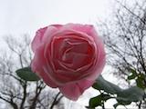 rose pink november th