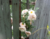 roses old fence th
