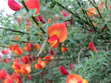 scotch broom flower2th
