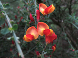 scotch broom flower th