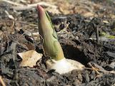 spring bulp th