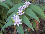 toad lily th