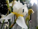 white iris th