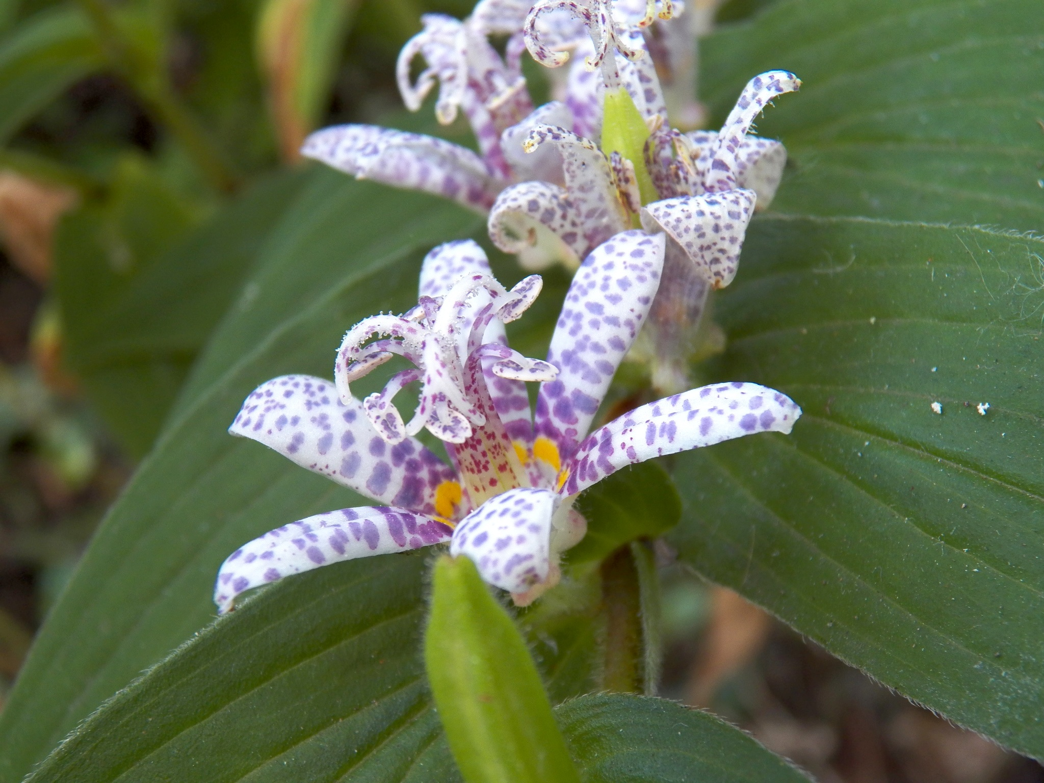toad lilies flower