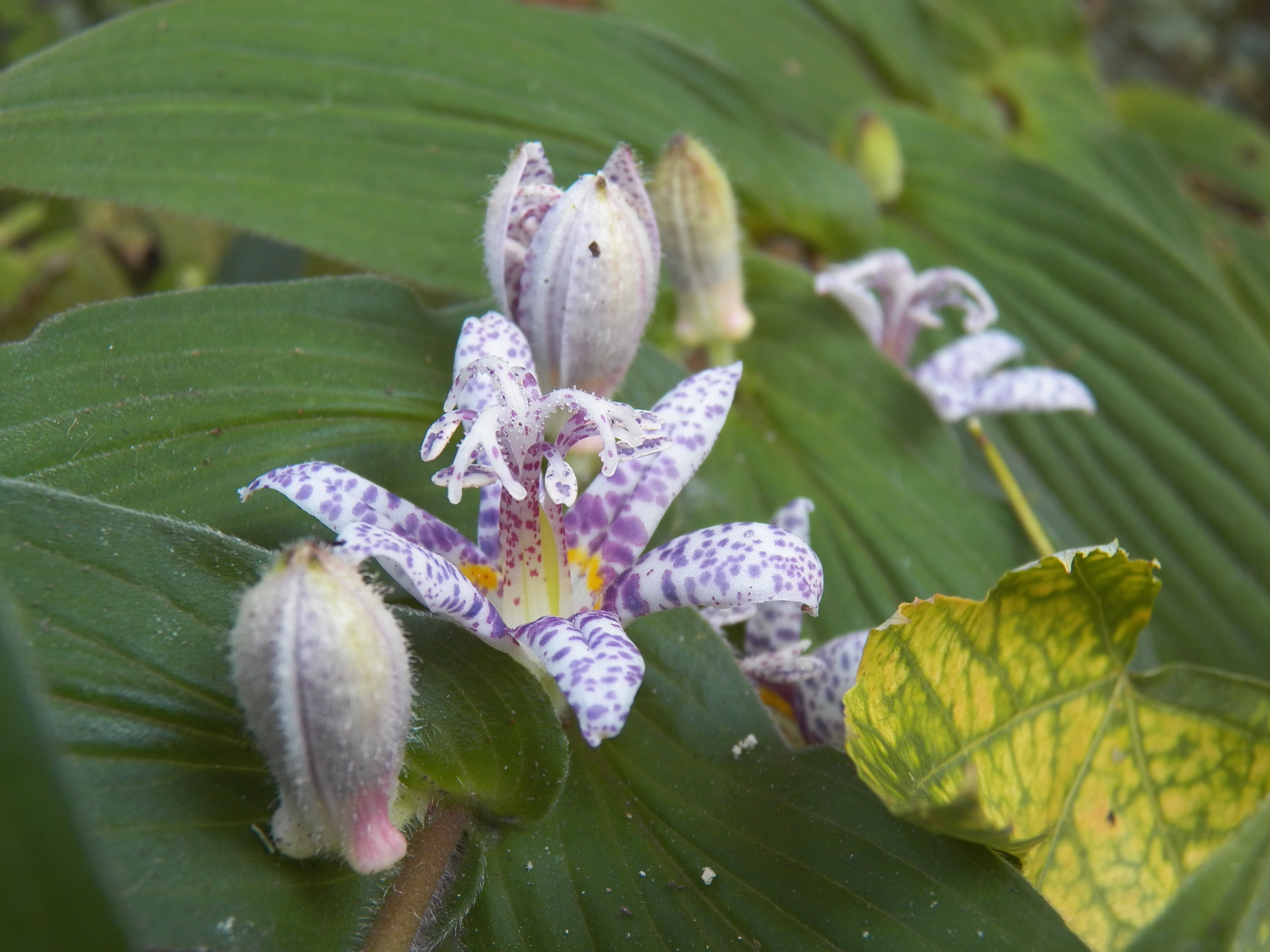toad lilies flowers