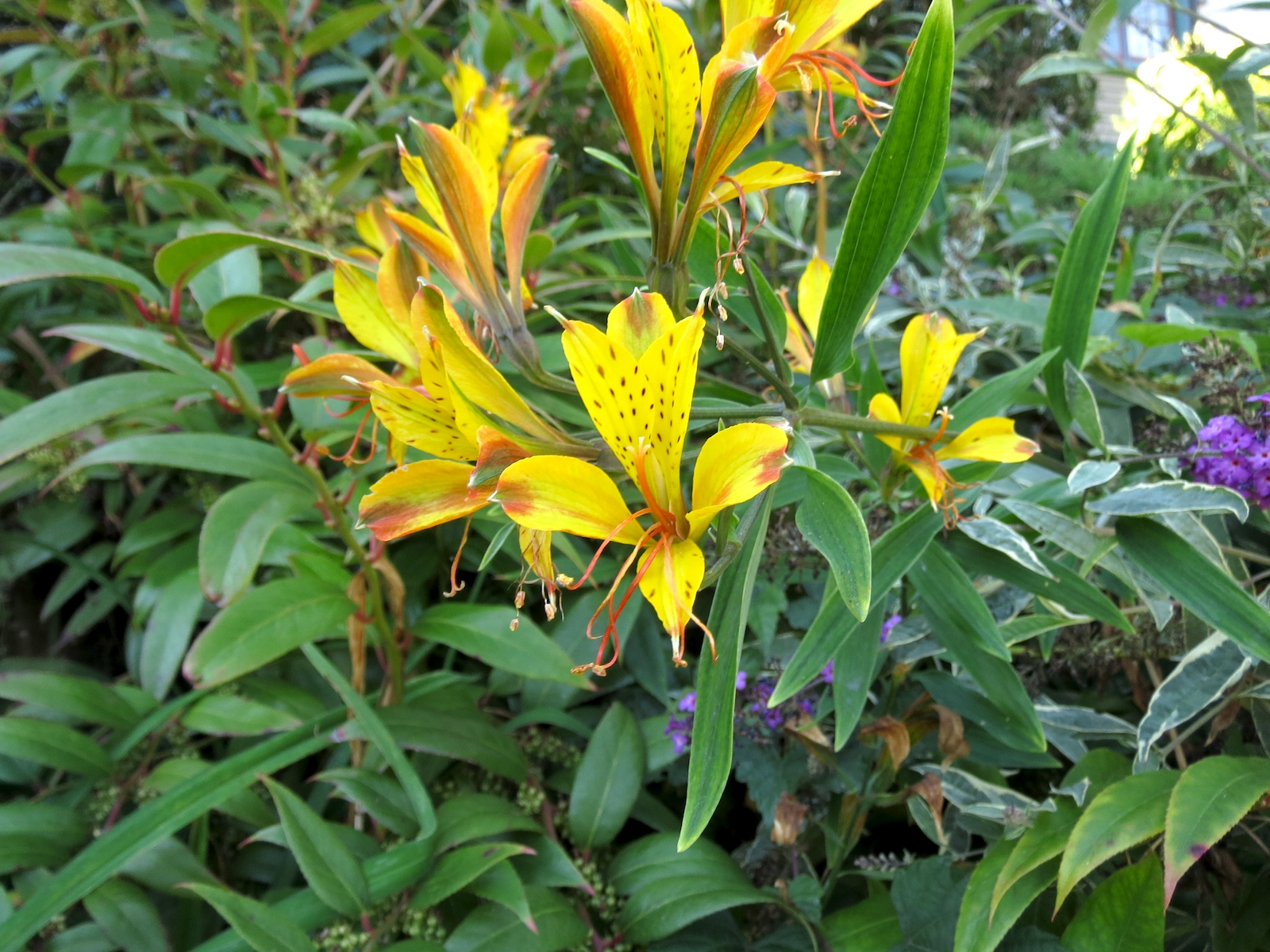yellow tiger lillies sep2013