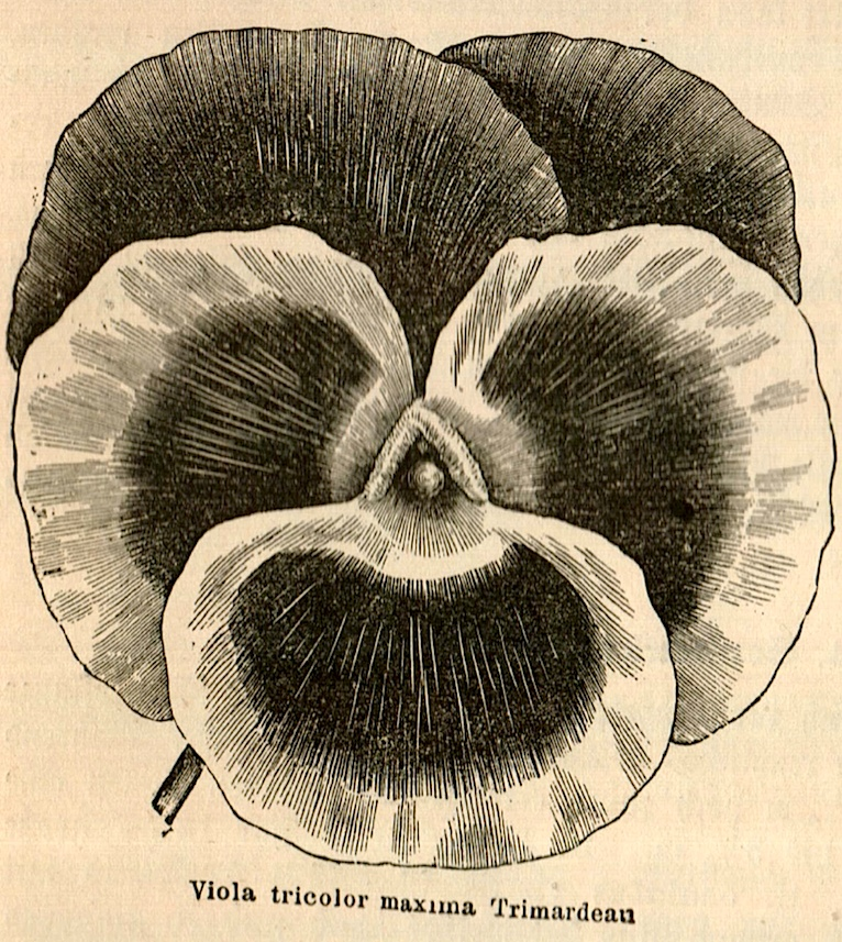 viola tricolor maxima Trimardean