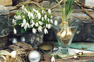 Galanthus nivalis snowdrops schneegloeckchen im glass pov
