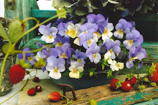 Viola tricolor pansies stiefmuetterchen pov