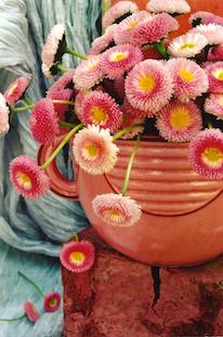 bellis perennis common daisy pov