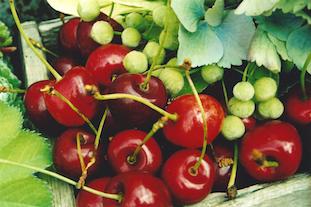 cherry suess kirsche linden fruit tilia hydrangea pov