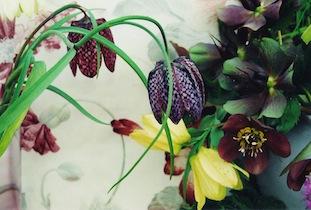 fritillaria Helleborus niger poc