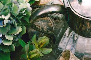 hydrangea helleborus niger christrose pov