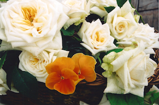orange pansies roses in basket pov