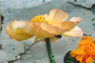 papaver poppy flower pov