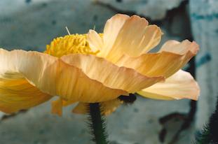 papaver poppy mohnblume pov